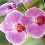 Orquidea Borboleta