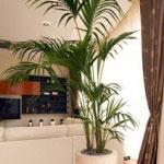 Palmeira Areca