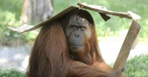 macaco se protegendo do calor