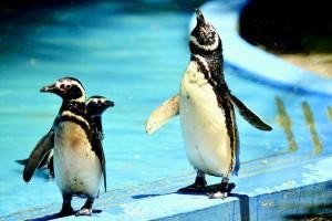 Pinguins ganham quarto com ar-condicionado no Zoológico do Rio