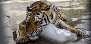 Tigre recebe uma pedra de gelo para se refrescar no Zoológico de Karachi