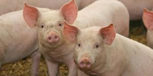 Os porcos também foram afetados pelo calor