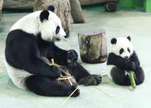 Panda do Zoológico de Taiwan fingiu estar grávida para ganhar quarto com ar-condicionado